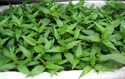 Picture of LAKSA LEAVES