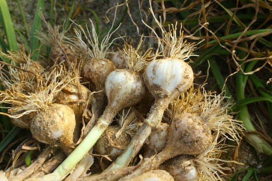Picture of Garlic harvest season on Ly Son island