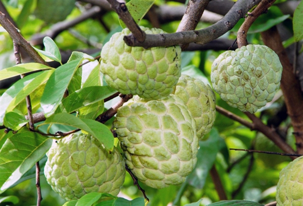 Picture of Quang Yen high-quality custard-apple area